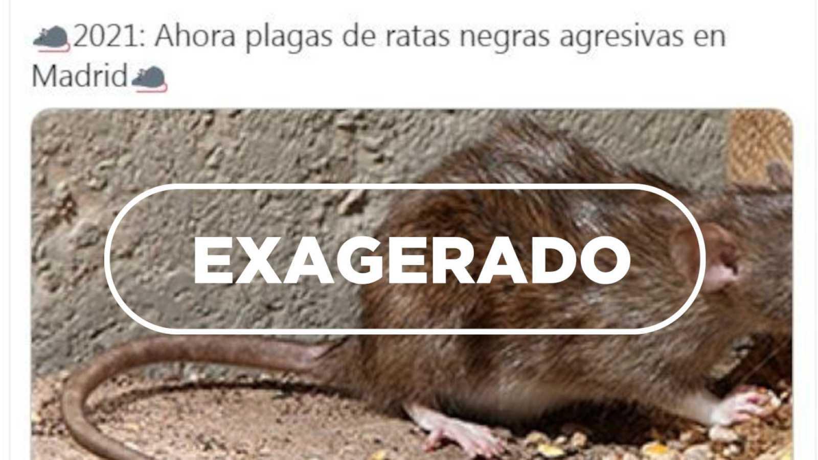 Detalle de la captura de uno de los tuits alertando sobre la presencia de ratas en Madrid y el sello de VerificaRTVE con la palabra exagerado.