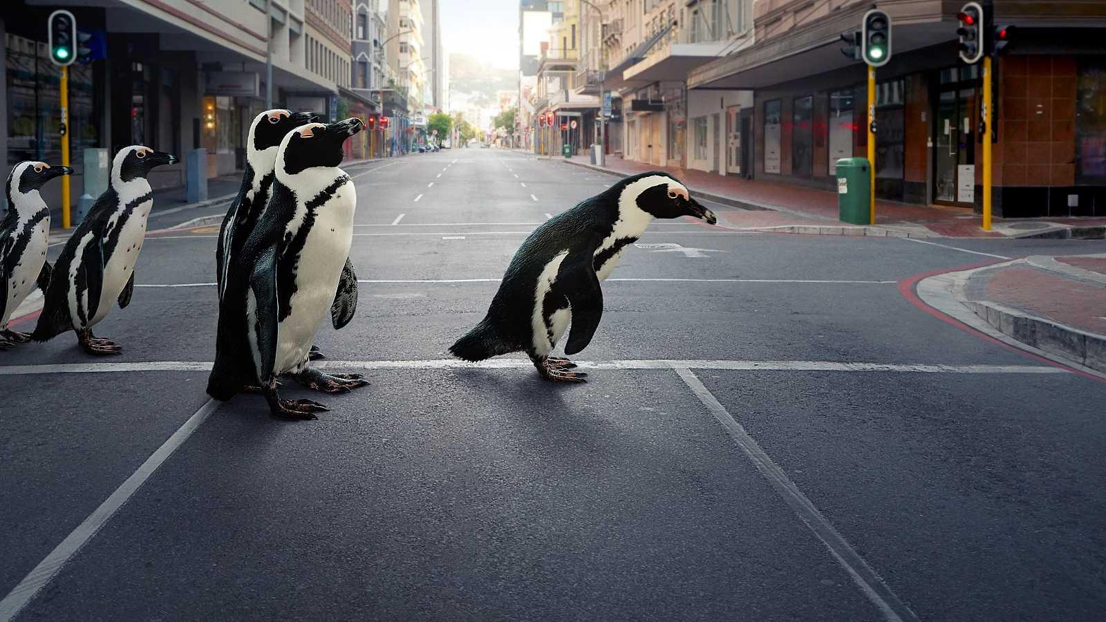 Un grupo de pingüinos de El Cabo avanza por las calles de Simon's Town, en Sudáfrica.