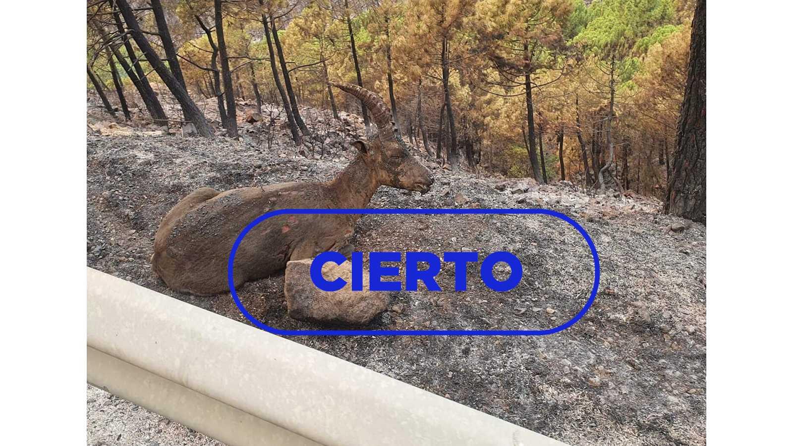 Imagen de la cabra quemada en el incendio de Sierra Bermeja publicada en Twitter por el usuario GA Francisco