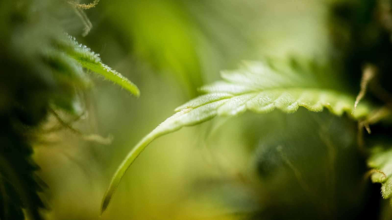 El cannabidiol (CBD) es uno de los componentes de la planta del cannabis.