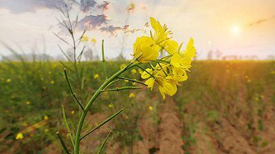 ¿Cómo cultivar mostaza?