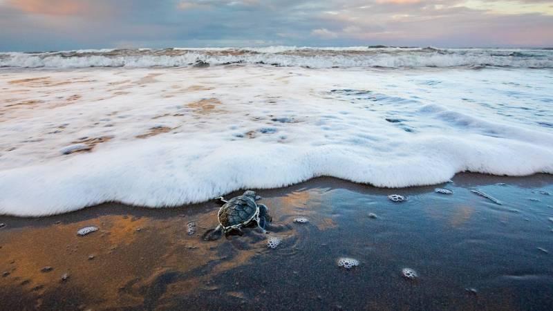 Una tortuga verde entra al océano en Costa Rica