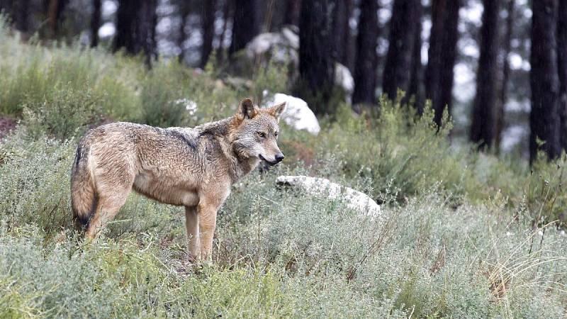Un ejemplar de lobo ibérico en su hábitat natural