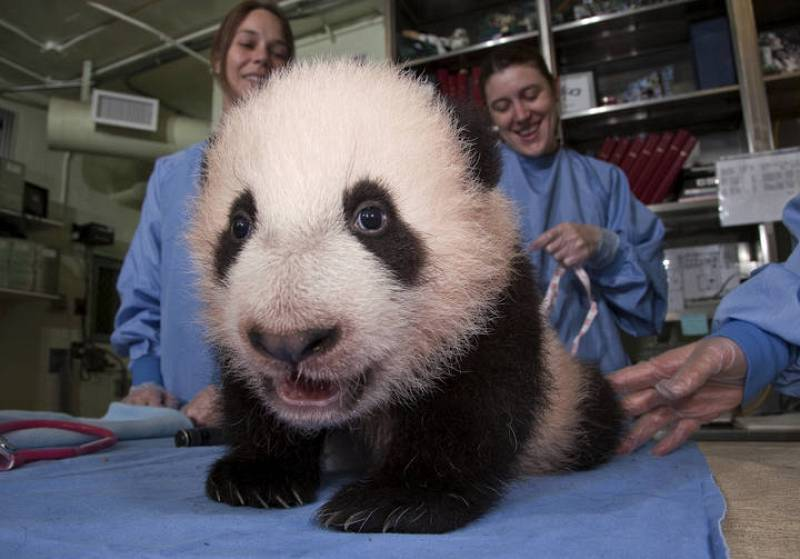 Un pequeño Oso Panda.