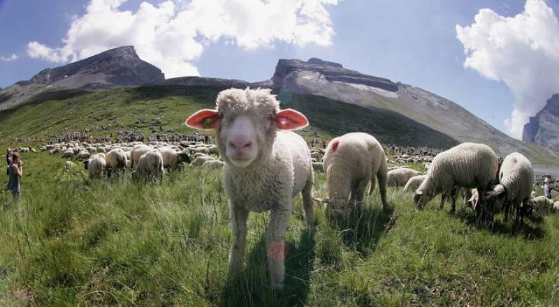 Una oveja recién nacida, pastando.