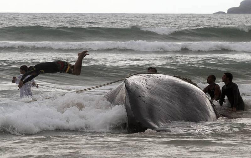 Un trabajador salta desde la ballena jorobada varada en la costa