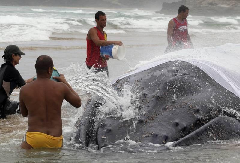 Trabajadores cubren a la ballena con trapos húmedos para que su cuerpo no se deshidrate