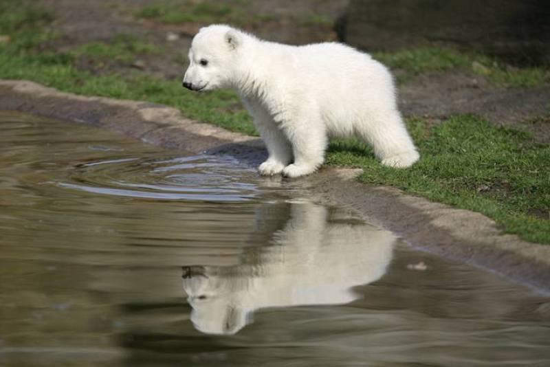 Foto de archivo de Knut durante el día de su presentación en el zoo de Berlín