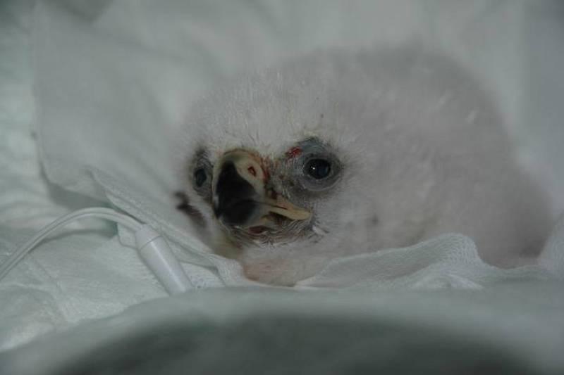 El pollo, un día después de su nacimiento.