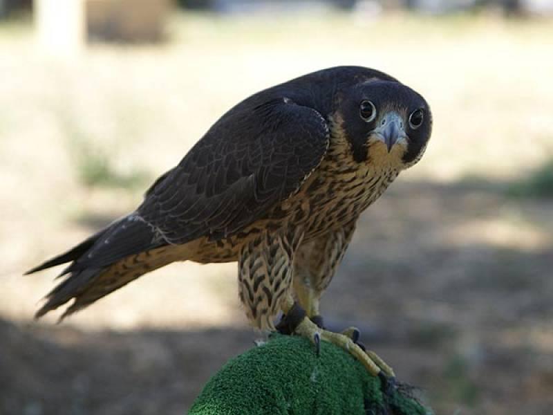 El CERI de Sevilleja de la Jara está logrando criar numerosas especies en cautividad, como este halcón peregrino.