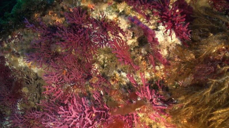 Gorgonias Rojas