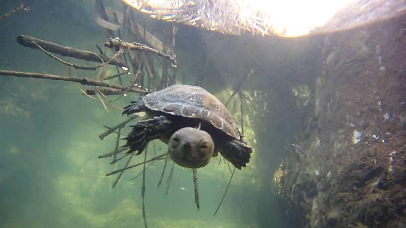 Si el río de Aguas se seca, la tortuga ibérica de agua  se extinguirá