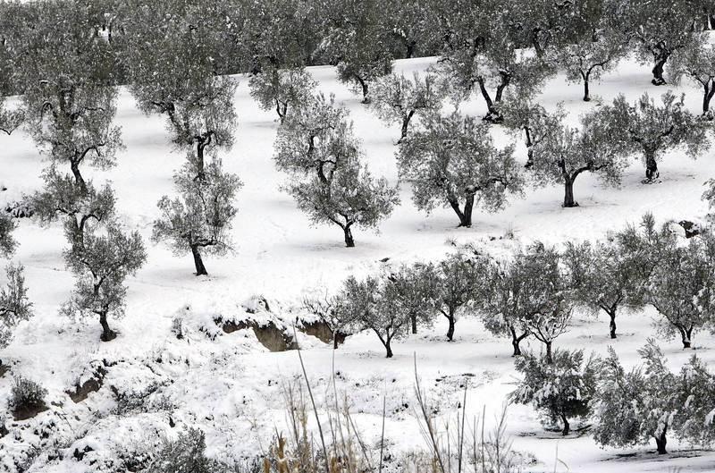 Un campo de olivos nevados en el municipio alicantino de Benassau.