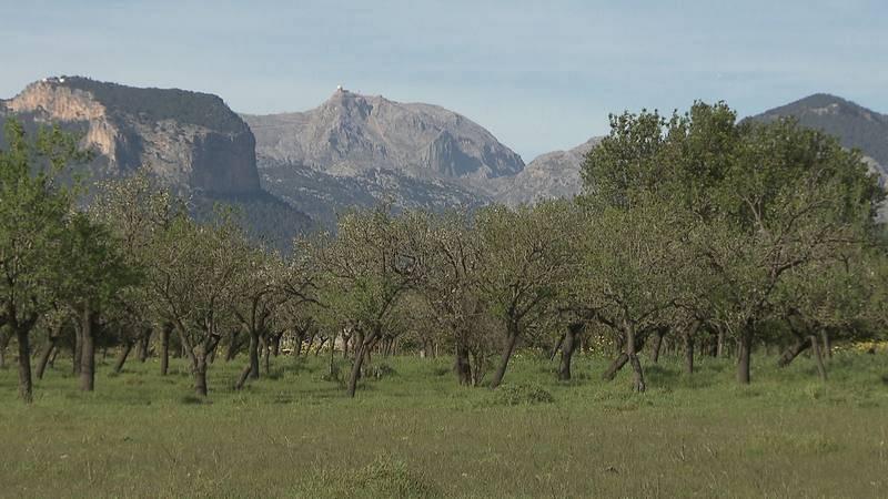 Paisaje mallorquín con almendros frente  a la sierra de Tramuntana