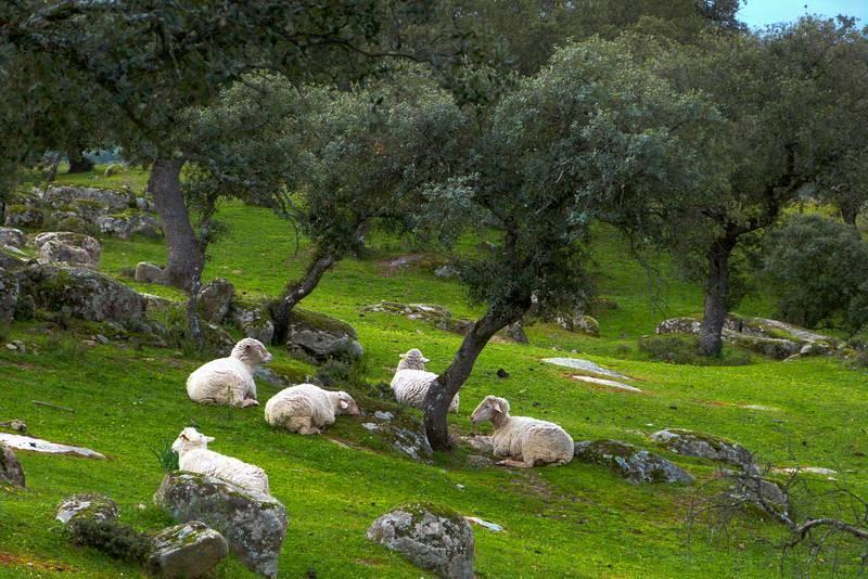 Las ovejas de Francisco conviven con el lince