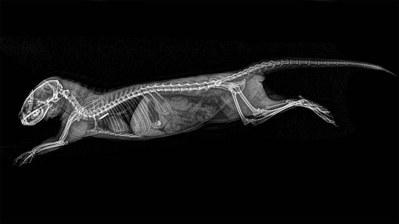 'Helogale parvula' es un pequeño carnívoro africano de la familia Herpestidae.¿ Su área de distribución se extiende desde Sudáfrica hasta Eritrea.