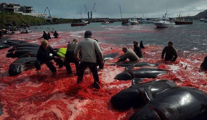 Las aguas del fiordo de Tórshavn, la capital de las Islas Feroe, se tiñen con el rojo de la sangre de los cetáceos, que son arrastrados hasta la orilla y brutalmente sacrificados.