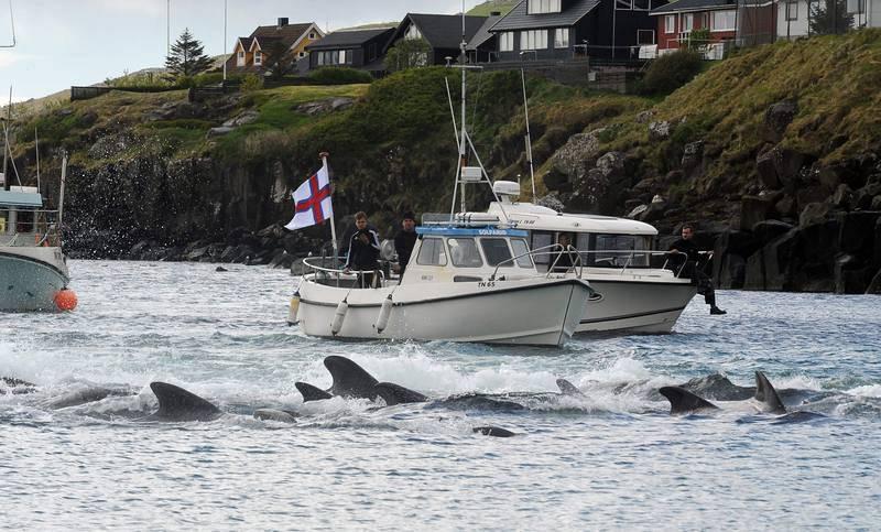 Las embarcaciones pilotadas por pescadores locales empujan primero a los cetáceos hacia la playa.
