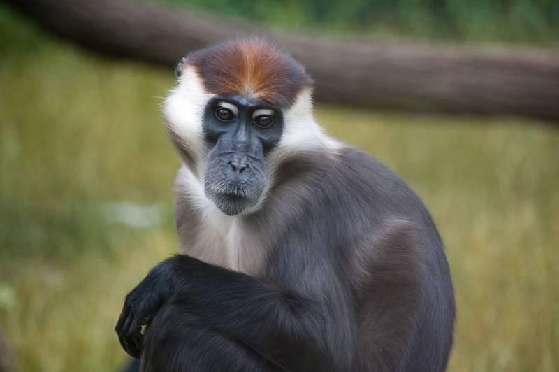 El mangabeye de boina roja es un primate presente en Nigeria, Gabón y el Congo.