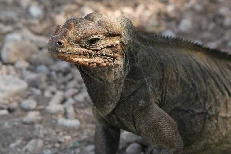 La iguana cornuda o iguana rinoceronte es un reptilendémicode la isla de La Española.¿