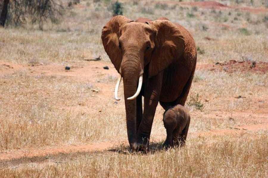 Un elefante con su cría en el parque nacional de Tsavo en Kenia.