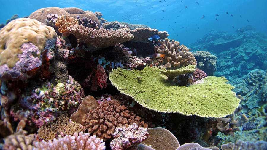 Corales del norte de la Gran Barrera Australiana