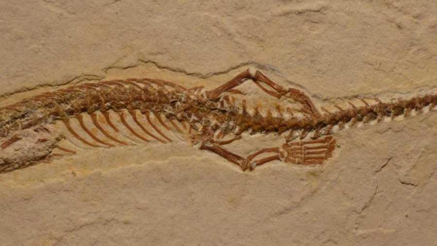 Imagen de las patas traseras del fósil del 'Tetrapodophis'