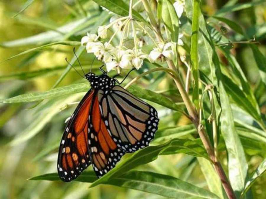 Las mariposas podrían estar en peligro, al igual que las abejas