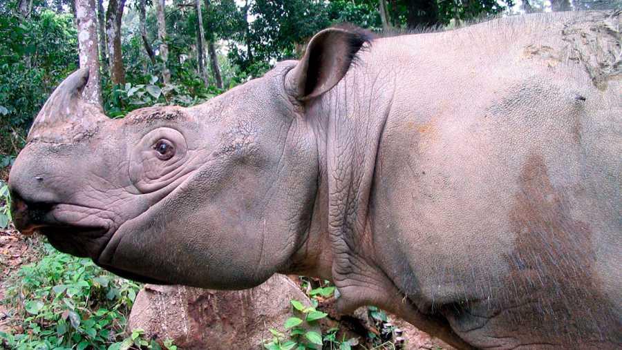 Imagen de un rinoceronte de Sumatra  (Dicerorhinus sumatrensis).