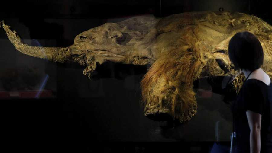 Yuka, cuyo cerebro pesa unos 4.300 gramos, fue encontrado congelado en 2010 cerca del mar de Laptev.