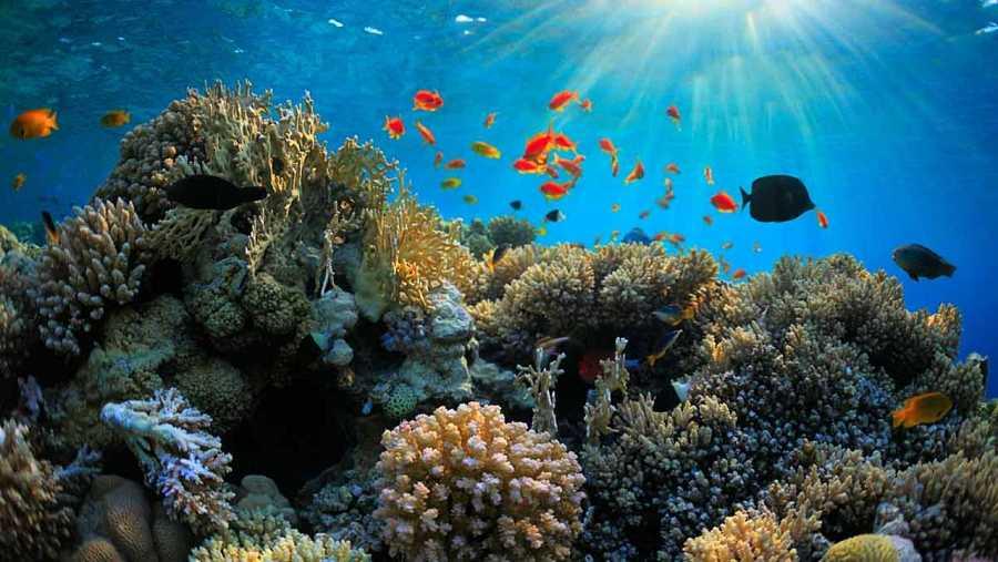 Los corales son vitales para una cuarta parte de las especies marinas.