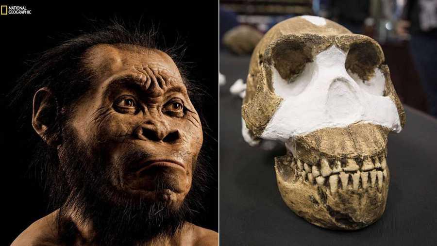 'Homo naledi' tenía características muy cercanas al género Homo.