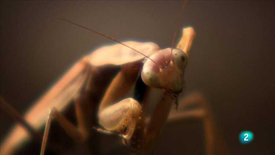 Mantis, hi ha passions que maten!