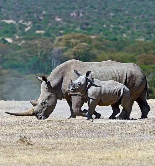 Debido a la situación agónica de los rinocerontes asiáticos, los contrabandistas internacionales han puesto sus ojos sobre los africanos.