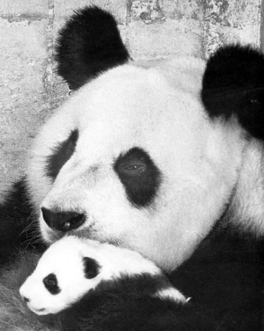 La osa panda Shao Shao, con su cria Chu-Lin, en una fotografía de 1982.