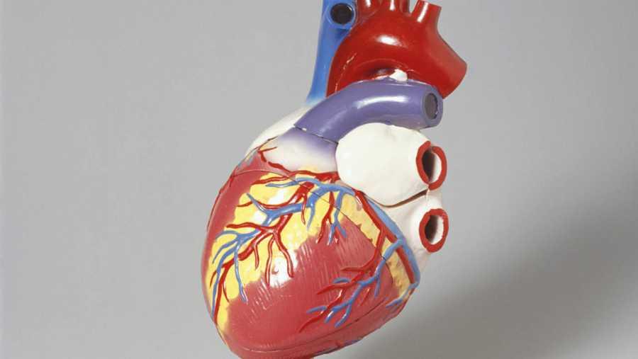 Modelo de un corazón