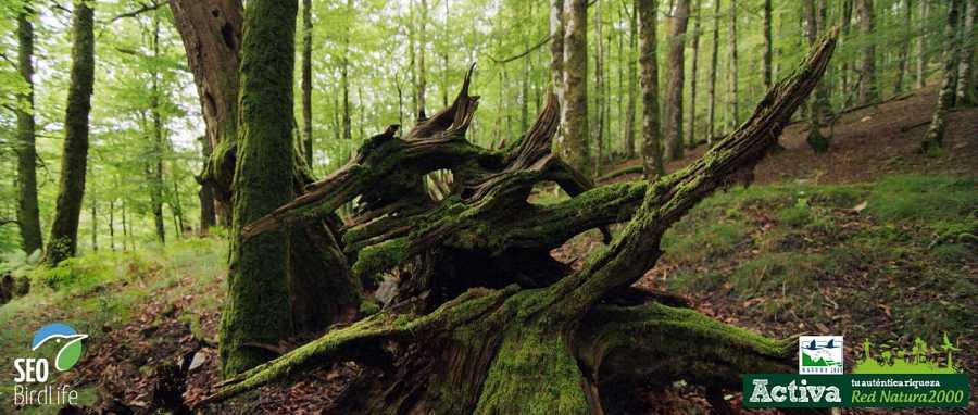 Un hábitat típico de la Red Natura 2000: el hayedo