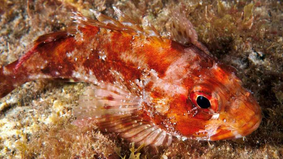 Ejemplar de Scorpaena maderensis (cabracho o rascacio) en La Concepción.