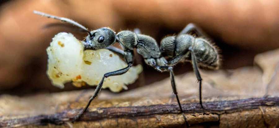 Una hormiga cargando comida