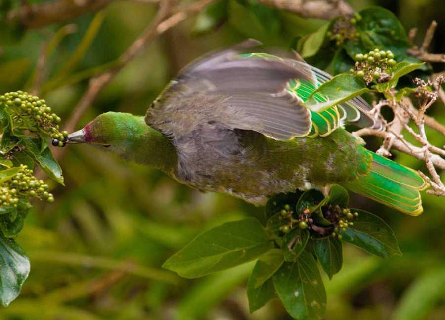 Una paloma de fruta de Mariana de la isla de Guam