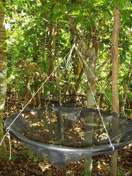 Los investigadores han desplegado cestas para recoger las semillas