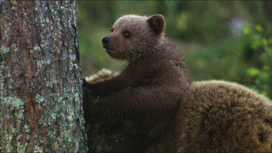 Las tres crías, que forman la 'hermandad de osos'., comienzan a descubrir el mundo exterior a la madriguera