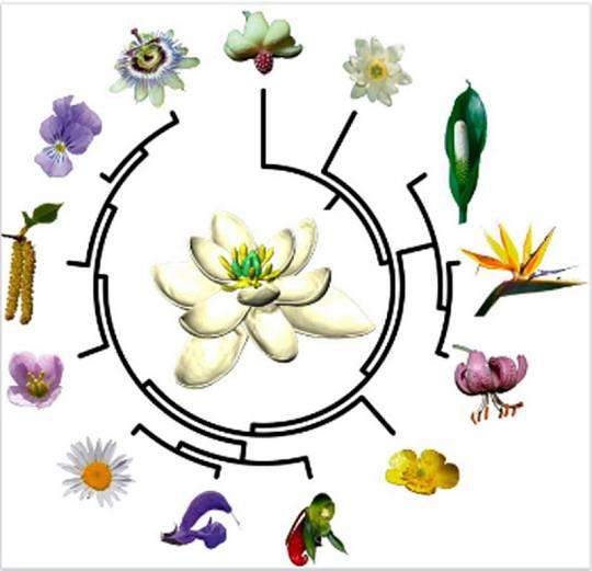 Árbol evolutivo de las plantas con flores propuesto por el estudio científico de Sauquet et al.