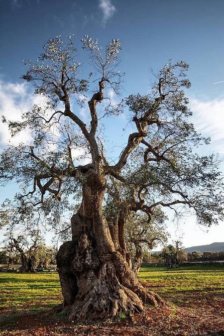 Se calcula que sólo en la provincia de Jaén hay más de 60 millones de olivos.
