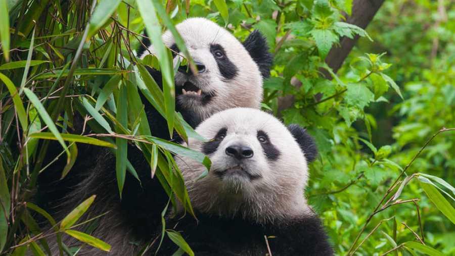 Dos ejemplares de oso panda