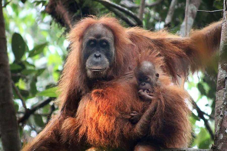 Un orangután de Tapanuli con su cría