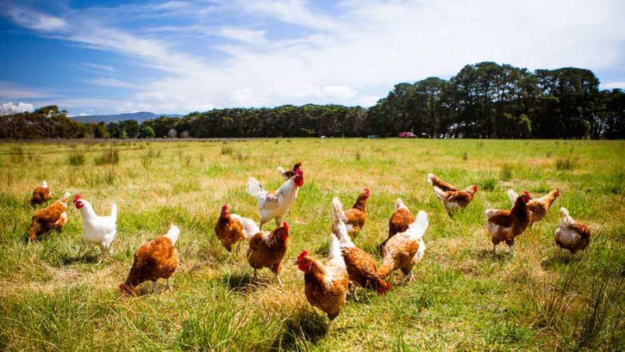 La creciente preocupación por el bienestar animal ha fomentado la creación de explotaciones de gallinas camperas.
