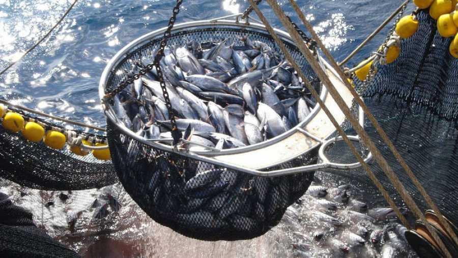 Pesca en redes del atún