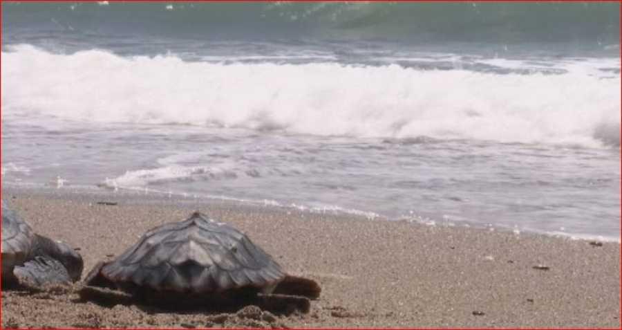 Las playas arenosas del Mediterráneo occidental son candidatas a convertirse en regiones de anidación exitosas para la tortuga boba.