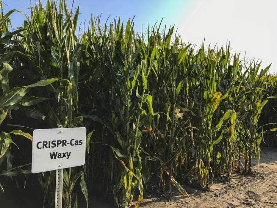 CRISPR también se puede usar para dar a las plantas características completamente nuevas como resistencia contra las plagas o la sequía
